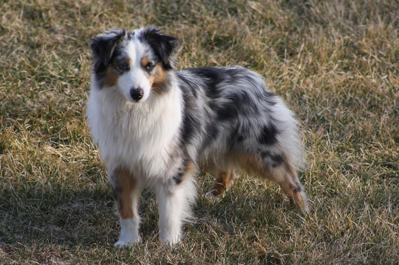 Adult Dogs | Wheatley Puppies